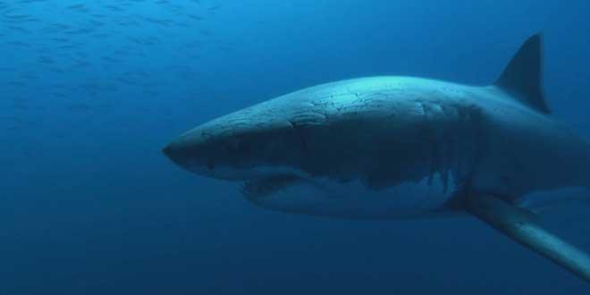 Tiburon blanco - El monstruo que oculto jackes coustou