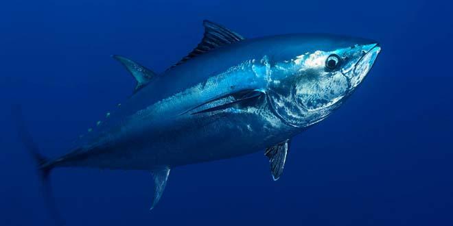 Atun azul