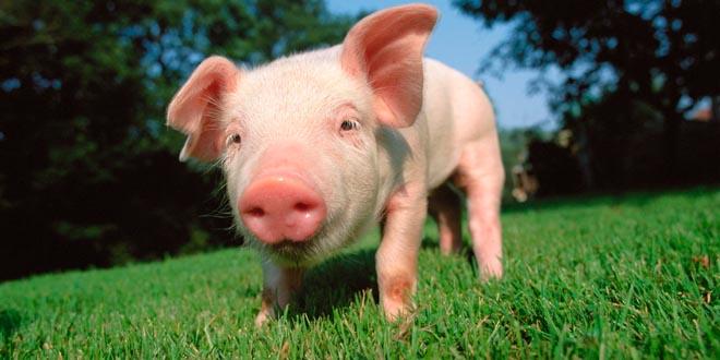 cerdo inteligente