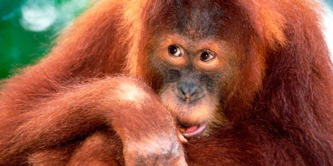 orangutanes inteligentes
