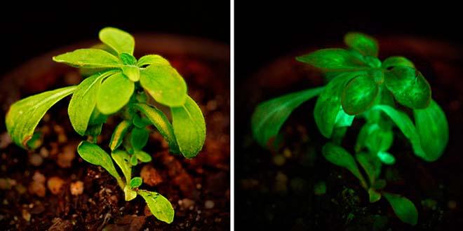 planta ilumina en la oscuridad