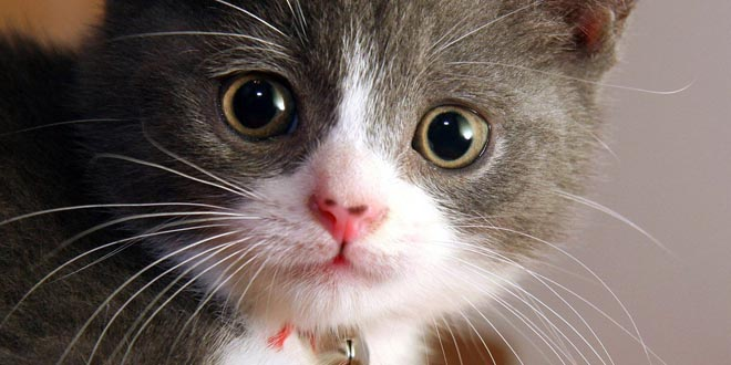 Ronroneo gatos terapeutico