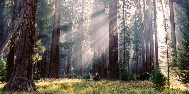 bosque-de-secuoyas