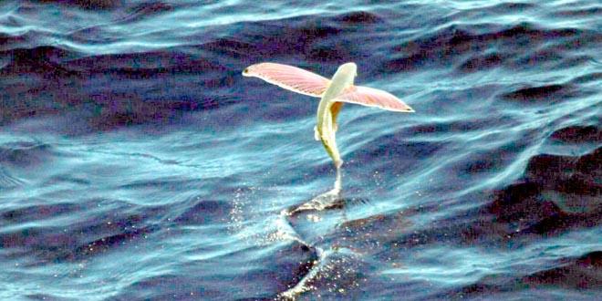 Exocoetidae pez volador