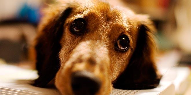 perros olfato epilepsia narcolepsia diabetes