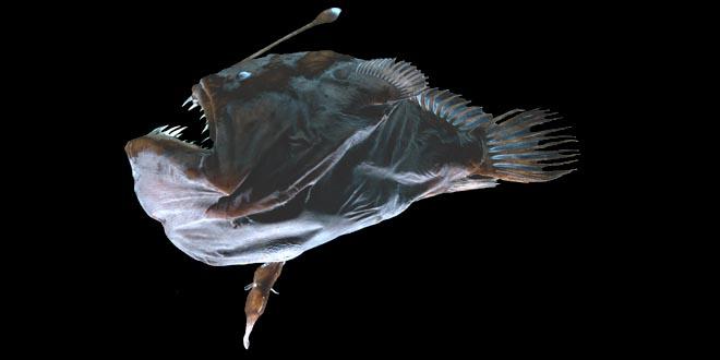 Melanocetus
