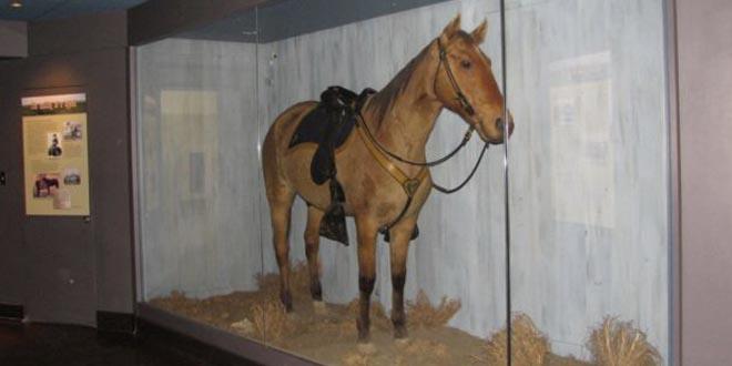 caballo comanche disecado