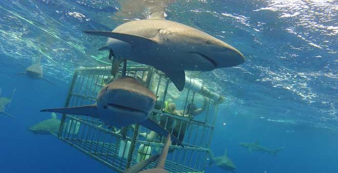nadar-entre-tiburones