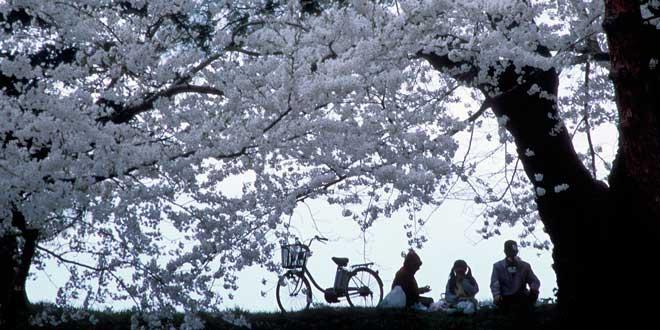 Fotografía flores de cerezo familia