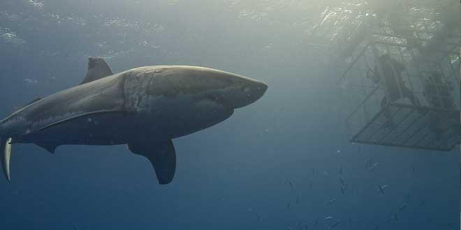 Jaula tiburón blanco