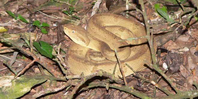 Víbora Isla de las cobras