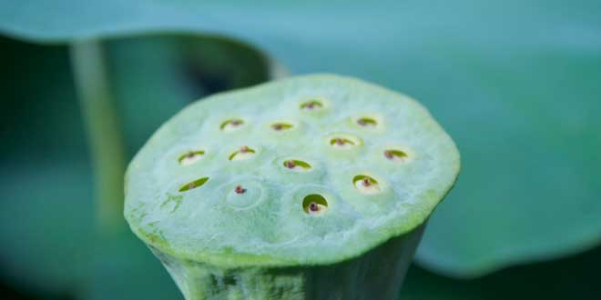 flor-de-loto-seca-tripofobia